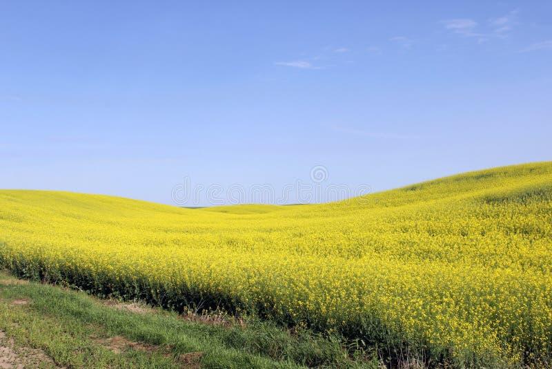 Il Canola sistema Manitoba 3 fotografie stock