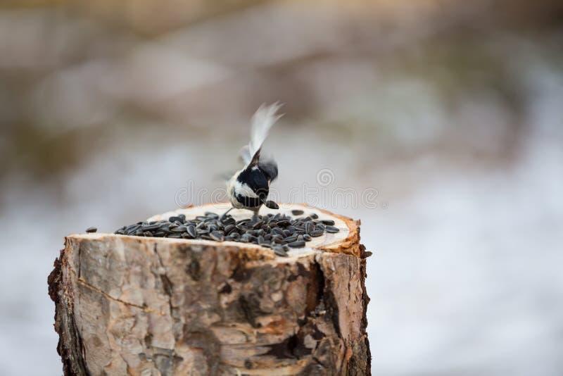 Il capezzolo del carbone o il ater del Parus che si siede sul ceppo e che becca i semi fotografie stock libere da diritti