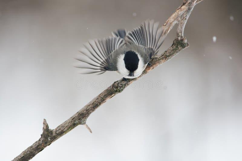 Il capezzolo del salice ha spanto le sue ali, pronte a volare per alimento immagine stock libera da diritti