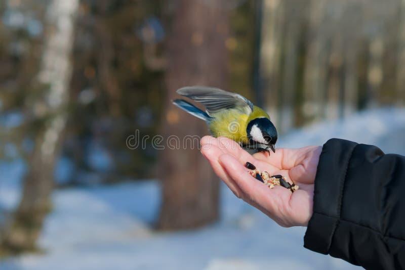Il capezzolo dell'uccello si siede sulla palma di un uomo con i semi, il concetto di preoccuparsi per gli animali in natura nell' fotografia stock libera da diritti