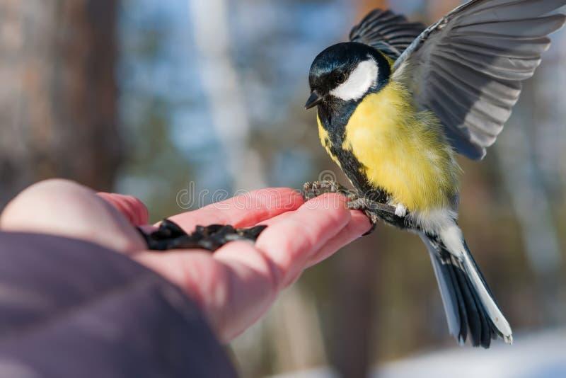 Il capezzolo dell'uccello si siede sulla palma di un uomo con i semi, il concetto di preoccuparsi per gli animali in natura nell' fotografia stock