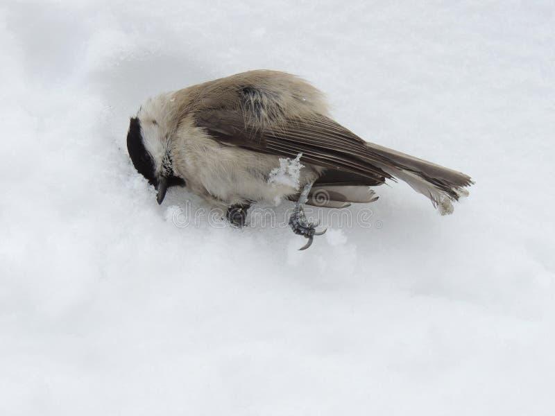 Il capezzolo morto sta trovandosi sulla neve fotografie stock libere da diritti