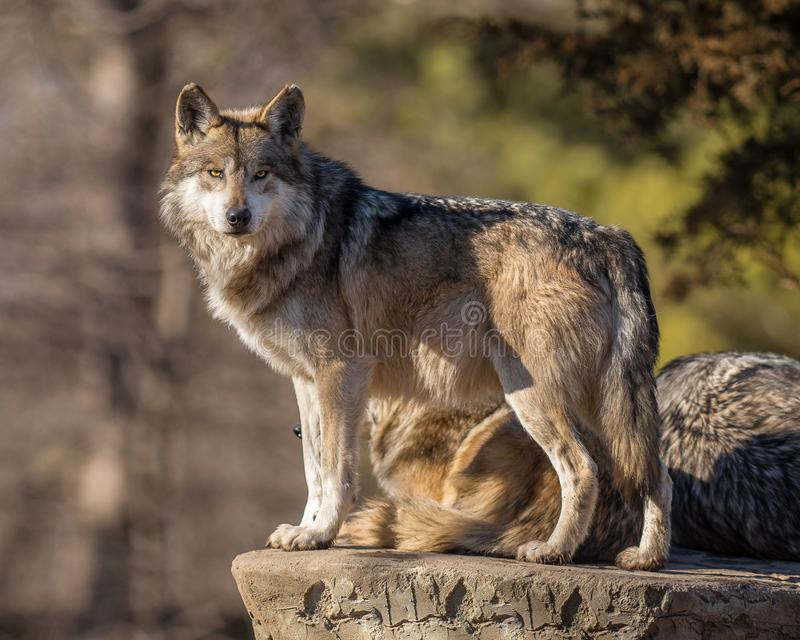 Il capo del pacchetto di lupo esplora l'orizzonte allo zoo di Brookfield fotografia stock libera da diritti