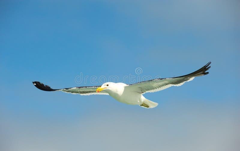 Il capo (kelp) Gull durante il volo fotografia stock