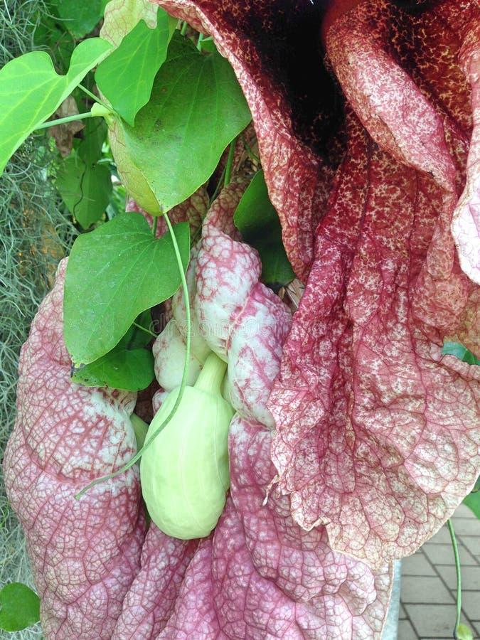 Il capolino della pianta di gigantea di Aristolochia fotografia stock