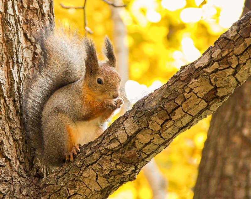 Il cappotto brillante di grande marrone grigio dello scoiattolo con una coda lanuginosa che si siede su un ramo mangia su un autu fotografia stock