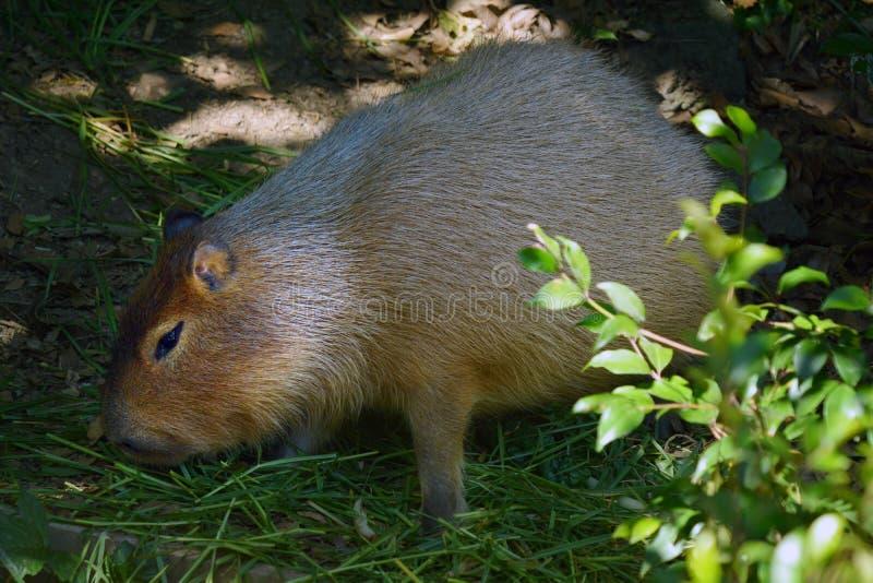 Il Capybara mangia l'erba fotografia stock libera da diritti