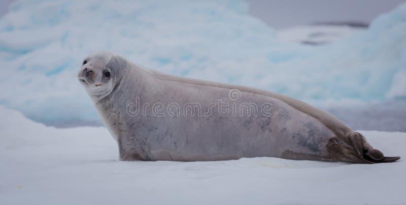 Il carcinophaga di Lobodon della guarnizione di crabeater, anche conosciuto come la guarnizione del krill-mangiatore, è una foca  fotografia stock