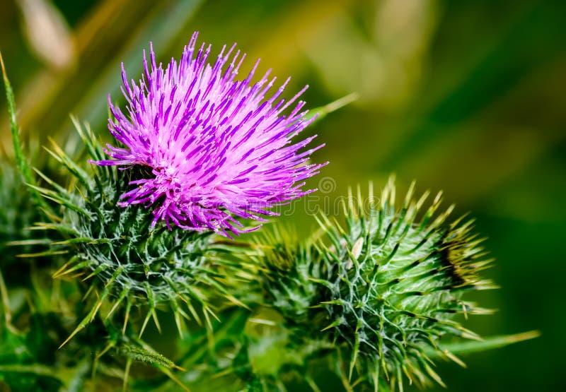 Il cardo selvatico di fioritura fotografie stock libere da diritti
