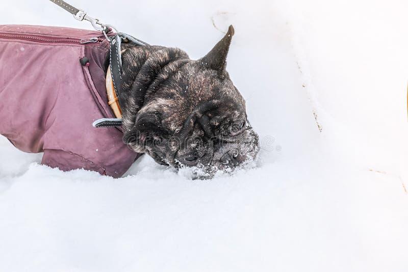 Il carlino mangia la neve e cammina in neve profonda con il suo proprietario Vecchio cane grigio in un cappotto di inverno immagine stock libera da diritti
