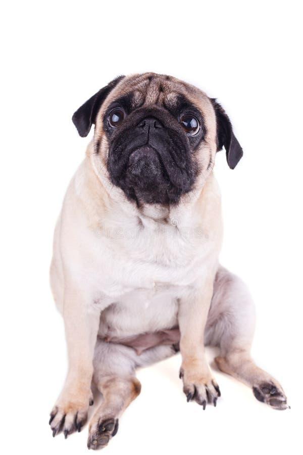 Il carlino triste del cane si siede e cercare Isolato fotografia stock libera da diritti