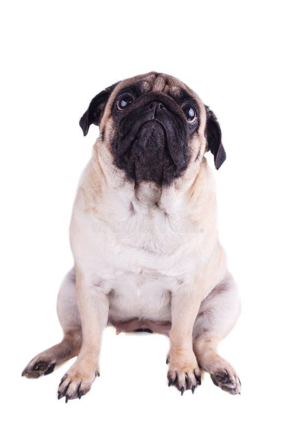 Il carlino triste del cane si siede e cercare Isolato immagini stock libere da diritti