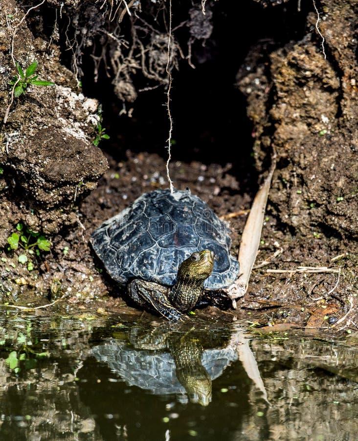 Il caspica caspico di Mauremys della tartaruga d'acqua dolce del a strisce-collo o della tartaruga in habitat naturale fotografie stock libere da diritti