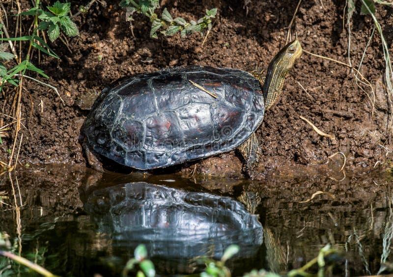 Il caspica caspico di Mauremys della tartaruga d'acqua dolce del a strisce-collo o della tartaruga in habitat naturale fotografia stock