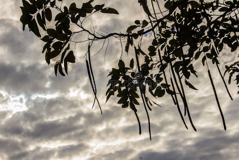 Il cassia fistula profilato fruttifica sull'albero sul backgro bianco della nuvola fotografie stock libere da diritti