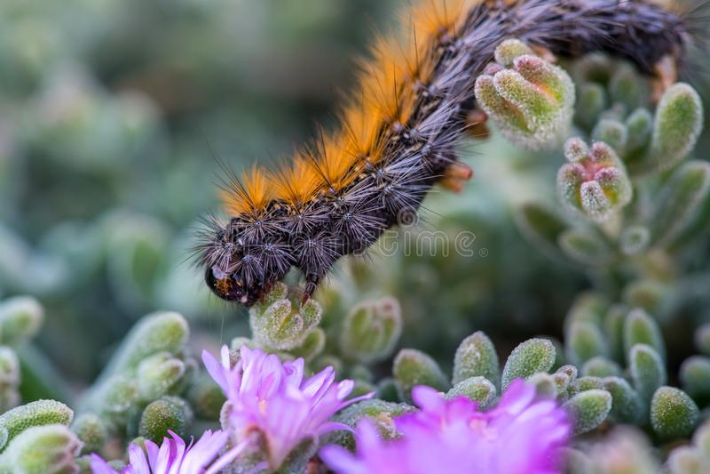Il ` Caterpillar di marzo del ` che marcia sui fiori viola fotografia stock