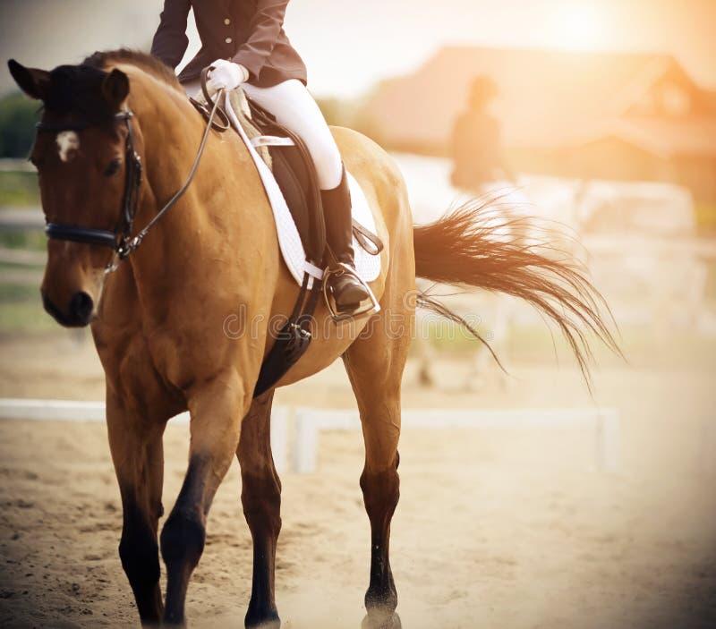 Il cavaliere monta un cavallo della baia ed il cavallo durante il galoppo ha ondeggiato la sua coda immagine stock libera da diritti