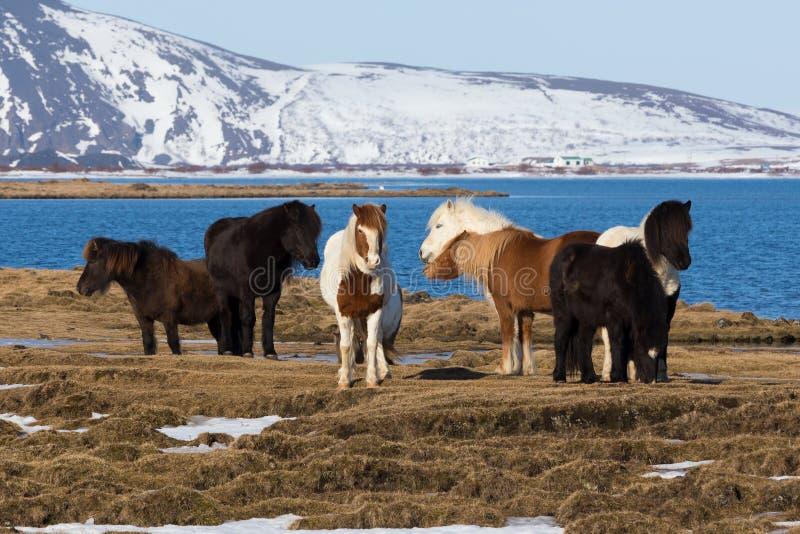 Il cavallino islandese su è morto vetro con il paesaggio naturale della montagna della neve immagini stock libere da diritti