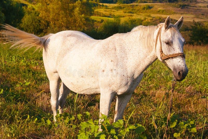 Il cavallo bianco espelle le mosche con la sua coda fotografia stock
