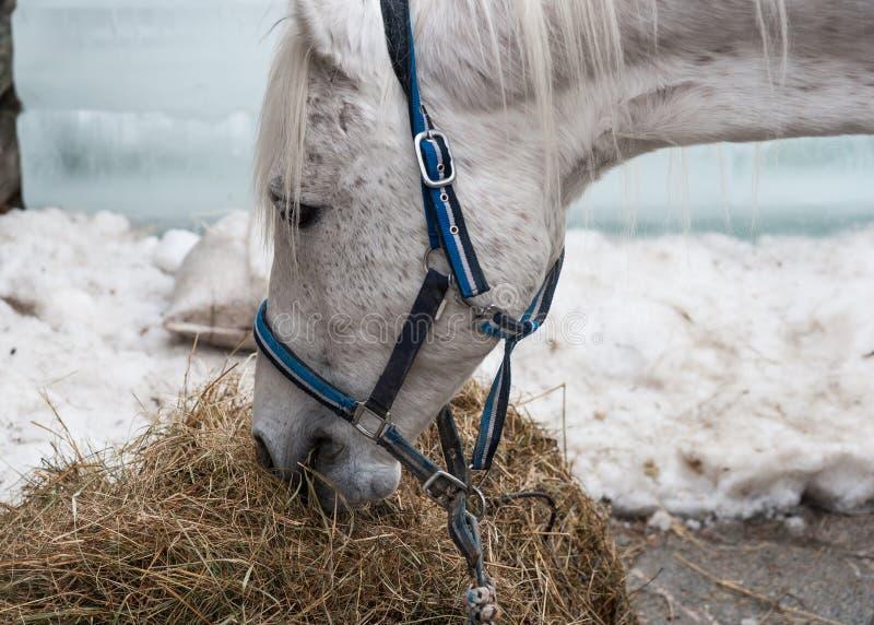 Il cavallo bianco mangia il fieno fotografia stock libera da diritti