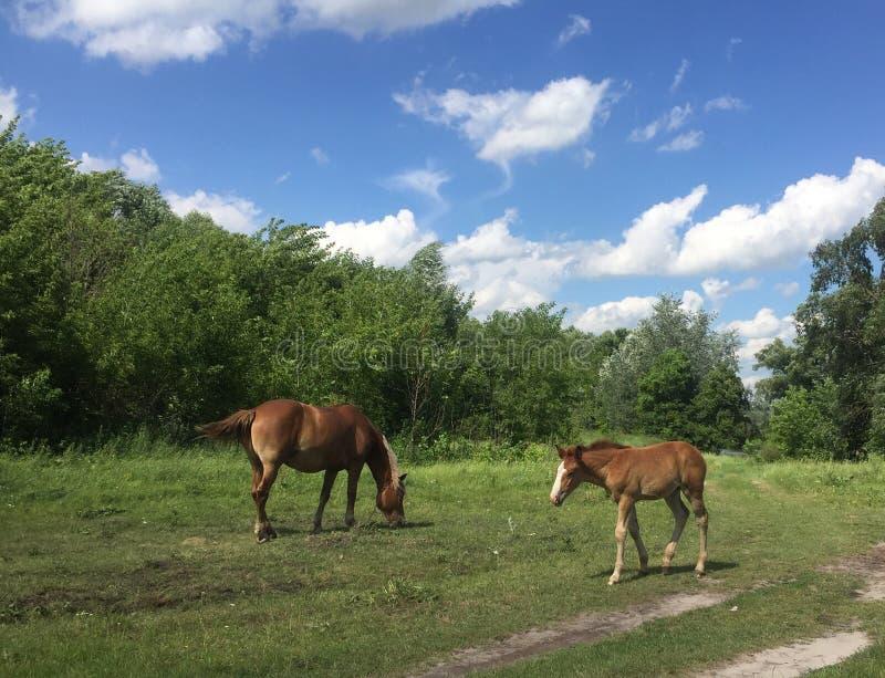 Il cavallo con il puledro sta pascendo in un prato nel villaggio Bello scape del paese fotografia stock libera da diritti