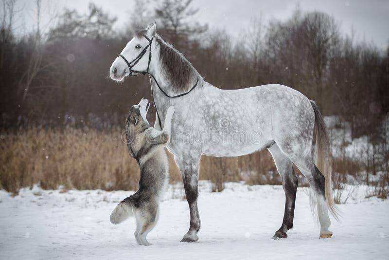 Il cavallo conduce il cane dalla briglia Zampone ed Alaskan di Orlovskiy immagini stock libere da diritti