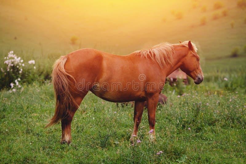 Il cavallo del Brown pasce immagine stock