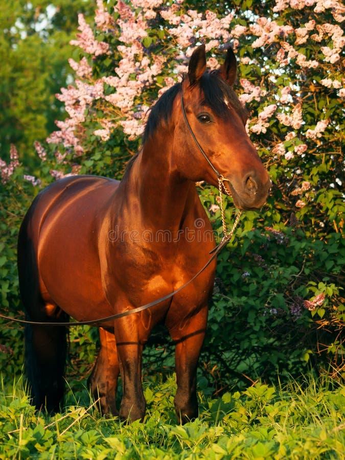Il cavallo di baia al fondo del cespuglio del fiore in ultimo sole rays fotografia stock libera da diritti