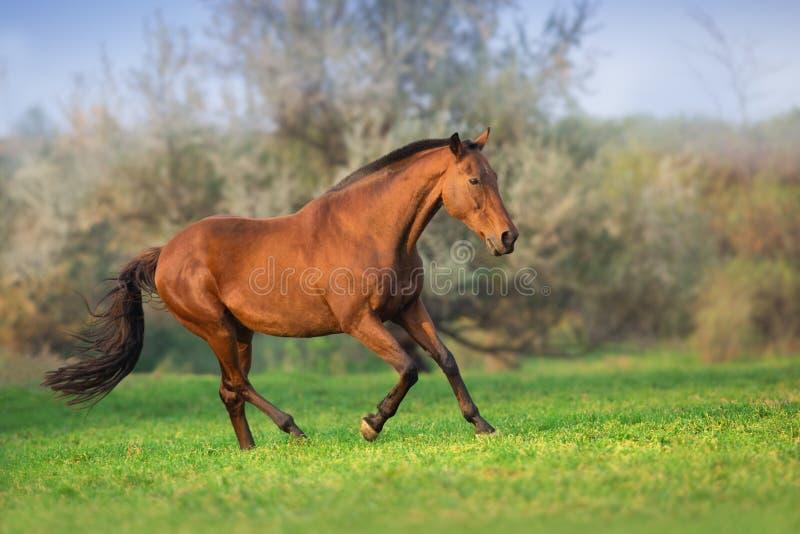 Il cavallo di baia funziona liberamente fotografia stock