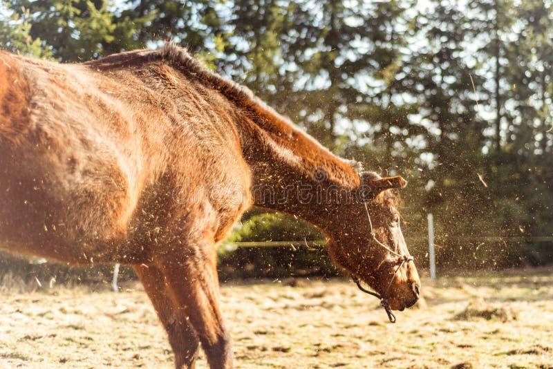 Il cavallo di Brown scuote la polvere nel giorno soleggiato fotografia stock libera da diritti