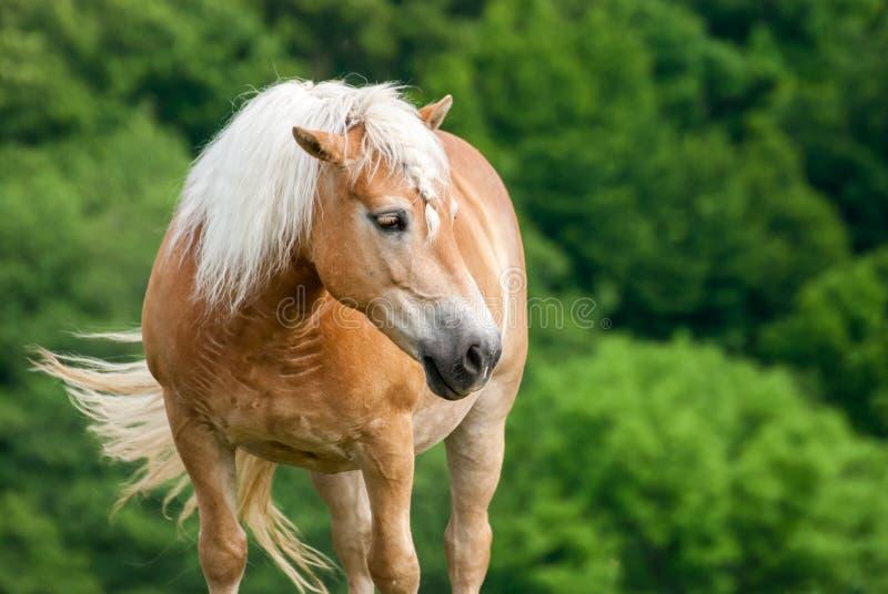 Il cavallo di Brown sul pascolo con la testa ha tenuto il livello fotografia stock libera da diritti