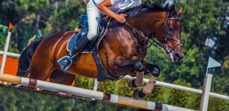 Il cavallo ed il cavaliere di dressage della baia nell'esecuzione uniforme di bianco saltano alla concorrenza di salto di manifes immagini stock