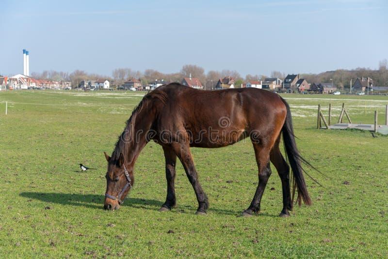 Il cavallo giovane che ? pascuto su un prato dell'estate fotografia stock