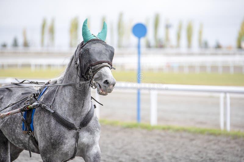 Il cavallo grigio con una benda su funziona immagine stock