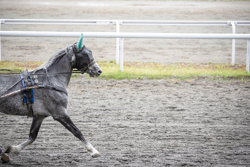 Il cavallo grigio con una benda su funziona fotografia stock