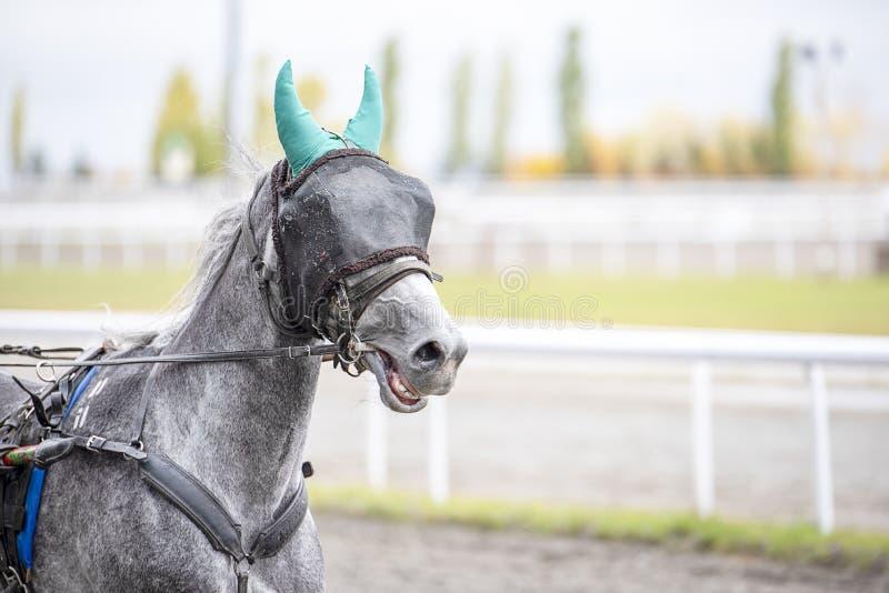 Il cavallo grigio con una benda su funziona immagini stock