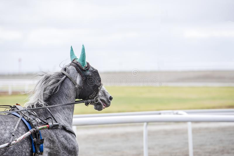 Il cavallo grigio con una benda su funziona immagine stock libera da diritti
