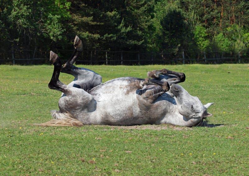 Il cavallo grigio rotola su un'erba fotografia stock libera da diritti