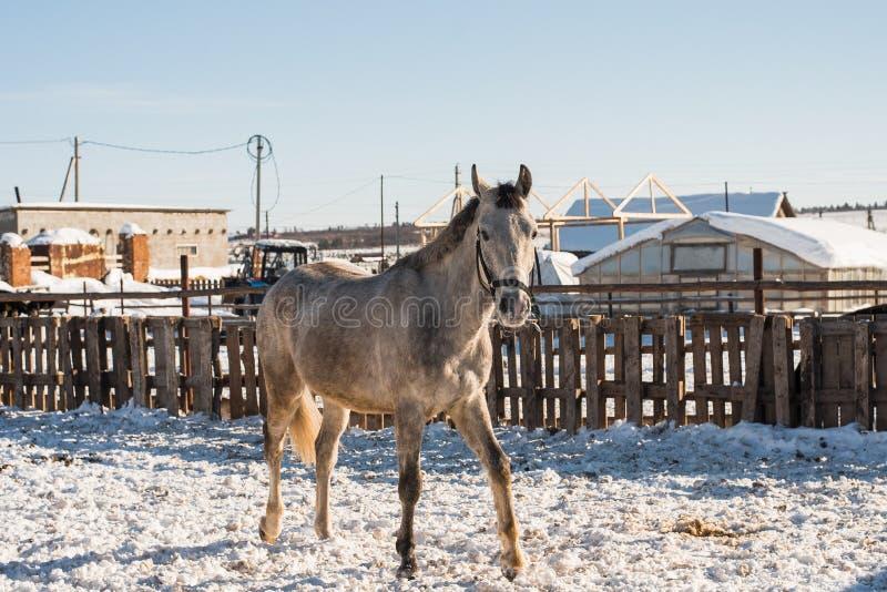 Il cavallo guarda fuori da dietro un recinto di legno fotografia stock libera da diritti
