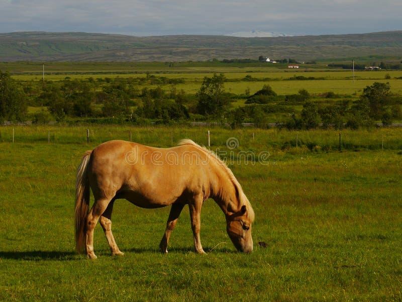 Il cavallo islandese con neve ha ricoperto la montagna nella distanza fotografia stock