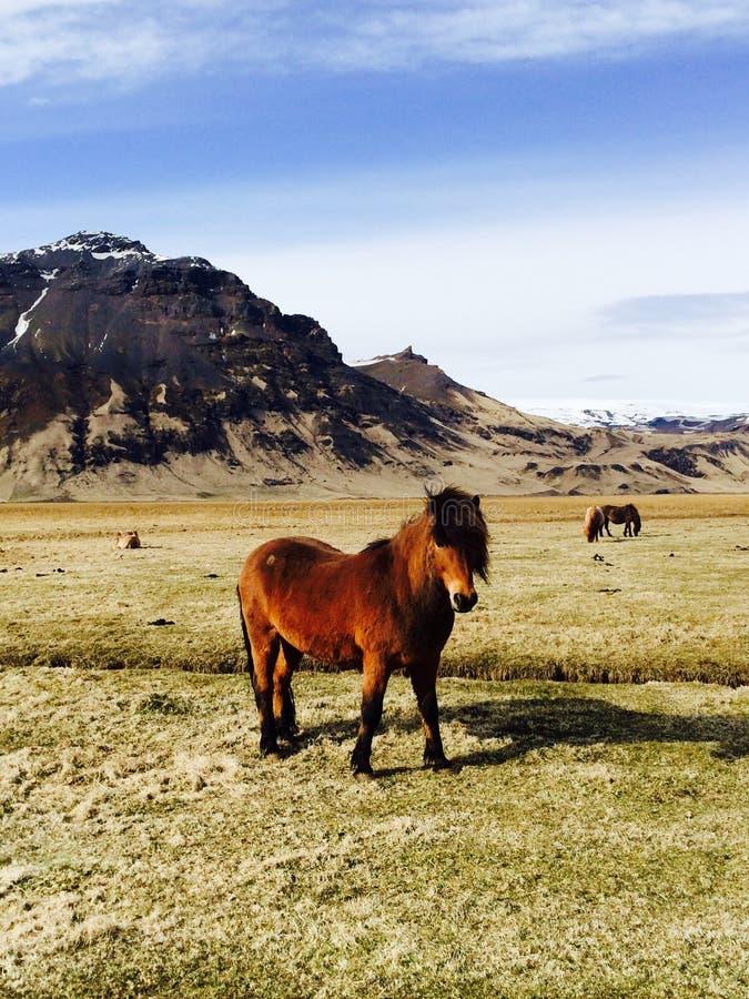 Il cavallo islandese marrone con la criniera lunga sull'erba fotografia stock