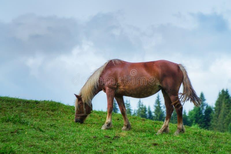 Il cavallo marrone è pascuto su un prato in primavera immagine stock libera da diritti