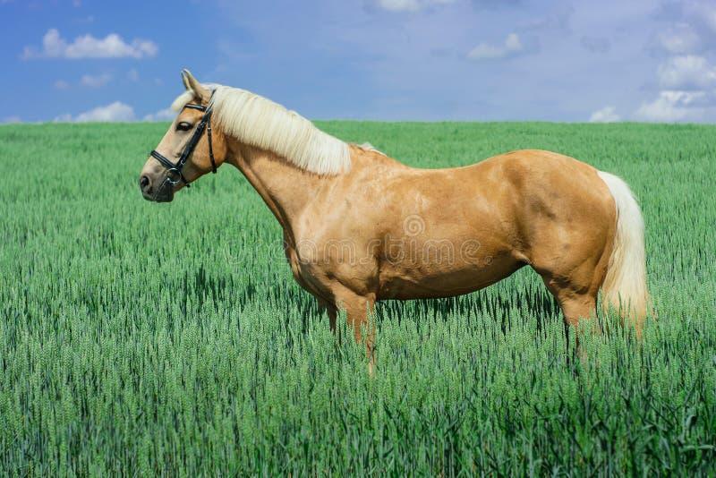Il cavallo marrone chiaro con una criniera e una coda bianche sta in un campo verde fotografia stock