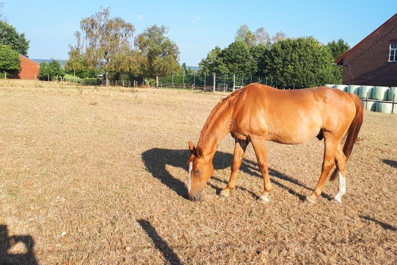 Il cavallo marrone chiaro pasce in un prato su un'azienda agricola fotografie stock libere da diritti