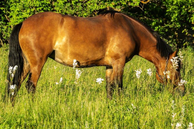 Il cavallo pasce e mangia l'erba di estate fotografia stock libera da diritti