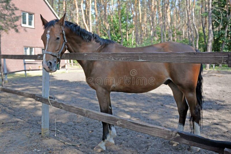Il cavallo sta dietro il recinto sull'azienda agricola fotografie stock