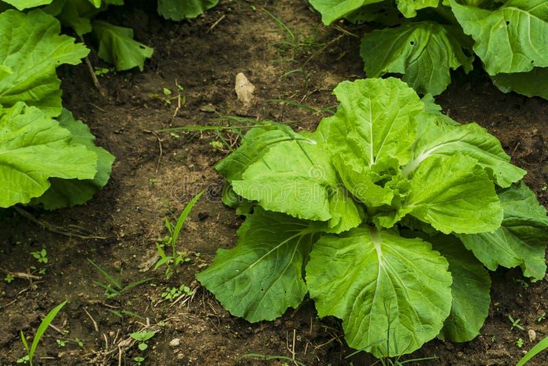 Il cavolo cinese è coltivato in un diagramma di verdure completamente sviluppato, il cavolo, cavolo cinese della pianta sulla mon immagini stock libere da diritti