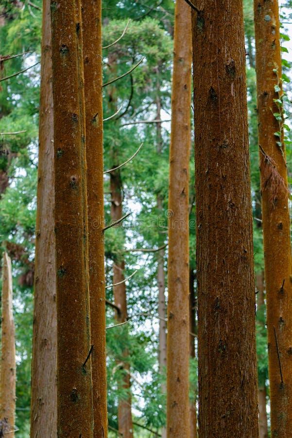 Il cedro collega un sao Miguel Azzorre della foresta fotografie stock libere da diritti