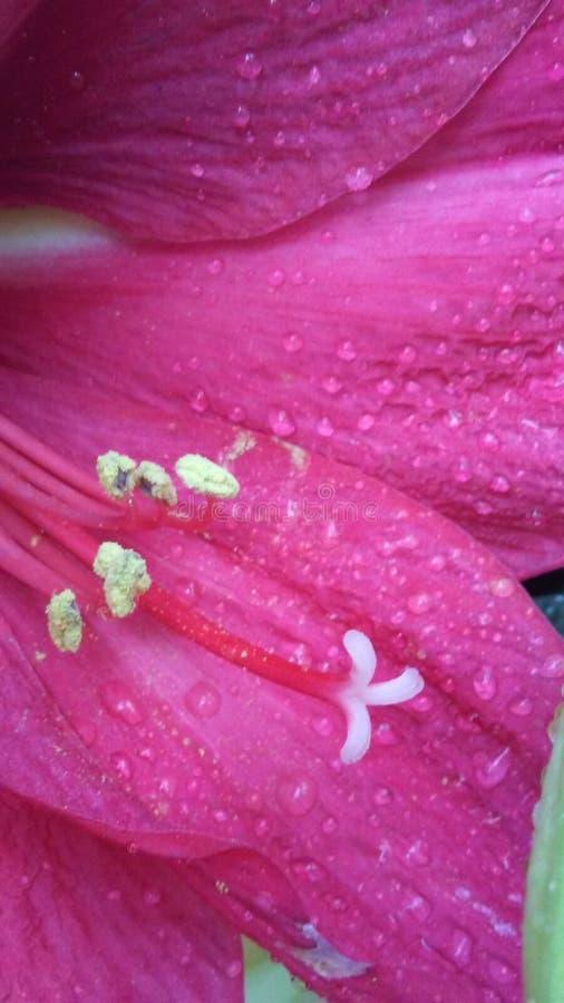 Il centro della signora rosa immagini stock