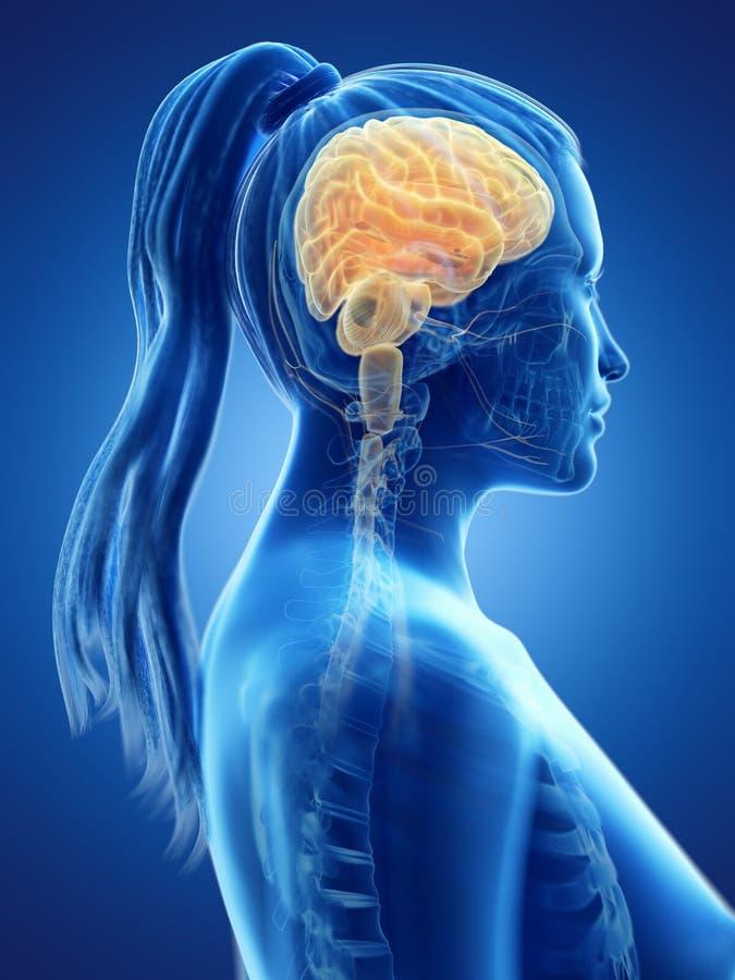 Il cervello di una donna illustrazione di stock